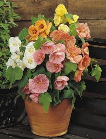 Abutilon-Bella-Mix-Pot