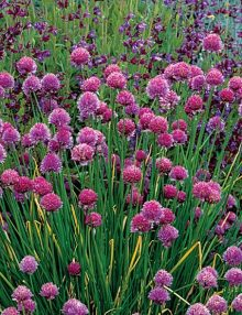 Allium-Schoenoprasum-Chives-Fine-Leaved-Flower