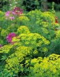 Anethum-Dill-Bouquet-Flowers1