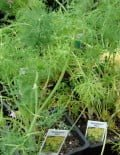 Anethum-Dill-Bouquet-Plant1