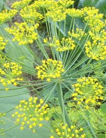 Anethum-Dill-Bouqute-Flower