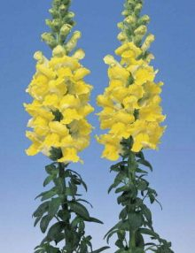 Antirrhinum-Admiral-Yellow