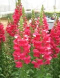 Antirrhinum-Calima-Deep-Rose
