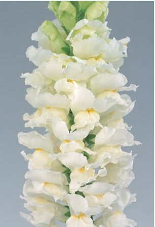 Antirrhinum-Calima-Ivory-White