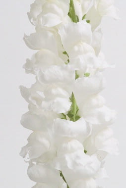 Antirrhinum-Calima-Pure-White