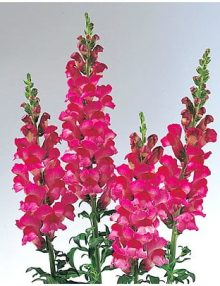 Antirrhinum-Sunshine-Deep-Purple-Eye1