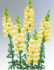 Antirrhinum-Sunshine-Lemon-Eye1