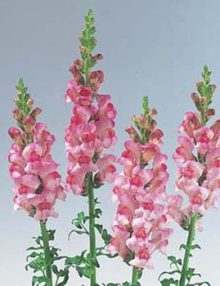 Antirrhinum-Sunshine-Light-Purple-Eye