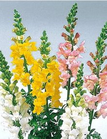Antirrhinum-Super-White