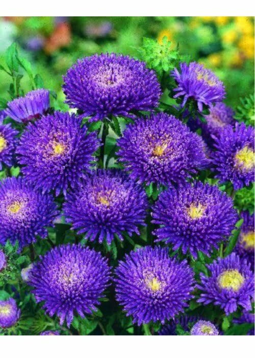 Aster Bonita Bluewht Wellgrow Seeds Wht Wellgrow Seeds