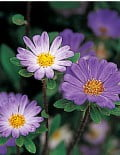 Aster-Daylight-Blue-Frost
