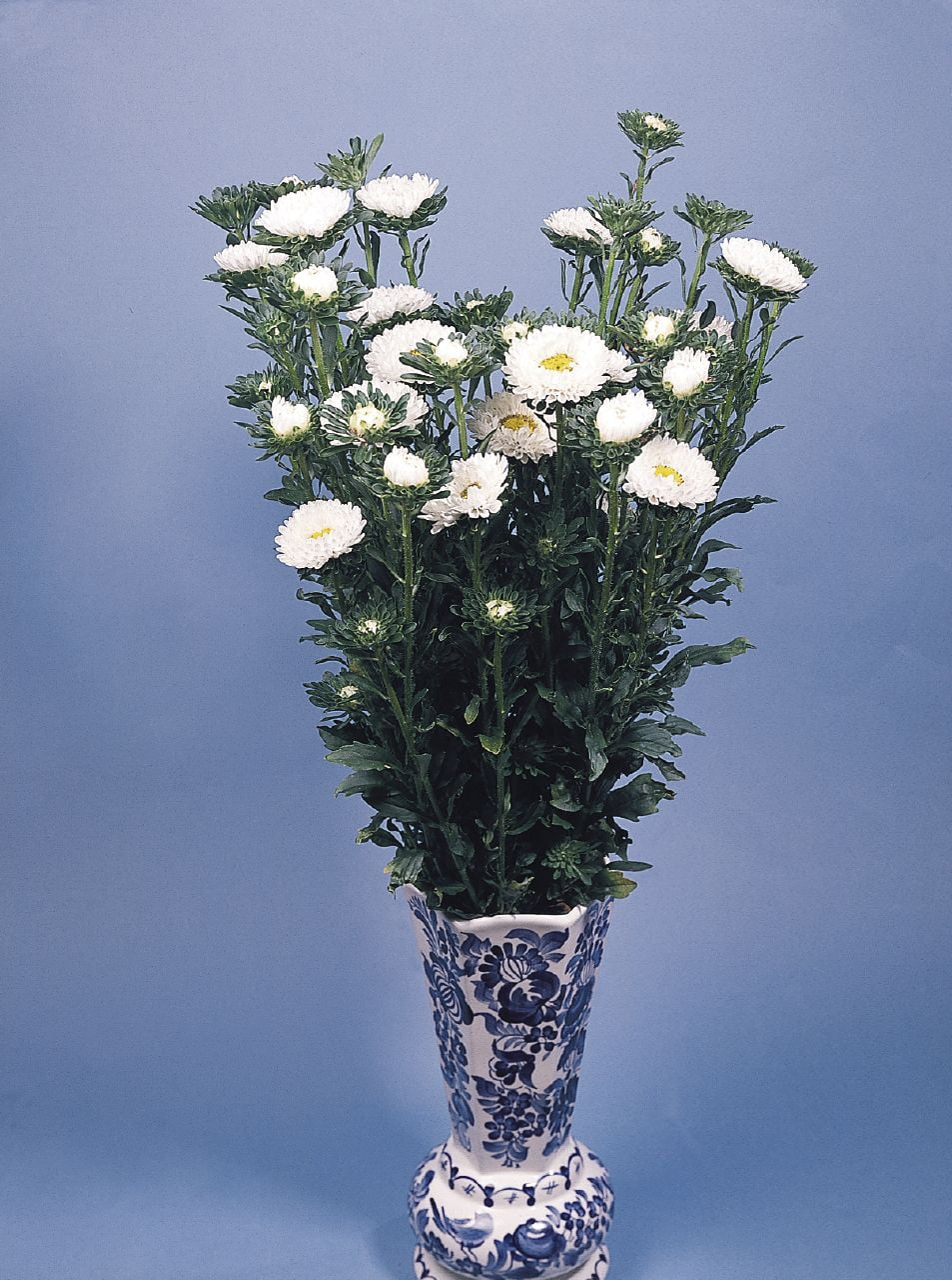 Aster Fan Whitewht Wellgrow Seeds Wht Wellgrow Seeds