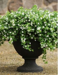 Bacopa-Snowtopia-Improved-Pot
