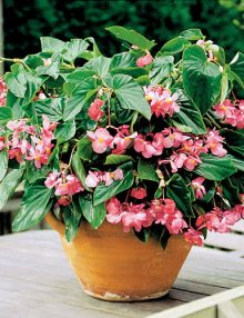 Begonia-Dragon-Wing-Pink-in-Pot