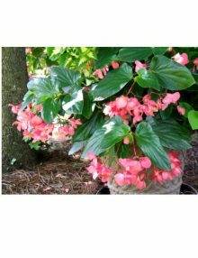 Begonia-Dragon-Wing-Pink1