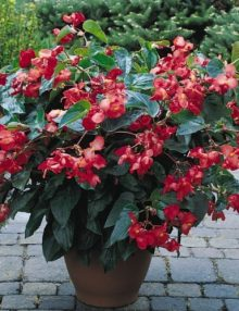 Begonia-Dragon-Wing-Red-Pot