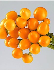Capsicum-Rio-Light-Orange1