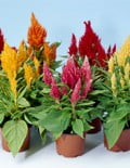 Celosia-IceCream-Mix-Pots