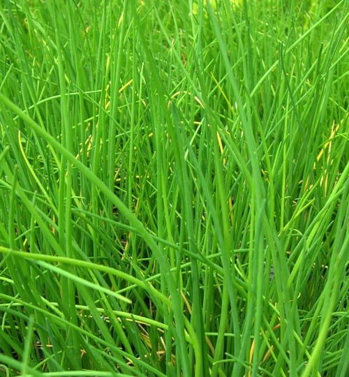 Chives-Fine-Leaved-Plant-1