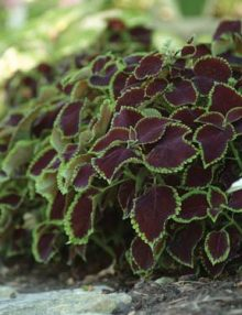 Coleus-Chocolate-Mint