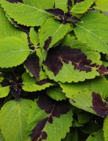 Coleus-Chocolate-Splash