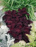 Coleus-Dragon-Black1