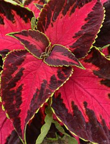 Coleus-Premium-Sun-Chocolate-Cherry2