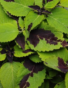 Coleus-Premium-Sun-Chocolate-Splash1