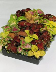 Coleus-Wizard-Mix