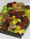 Coleus-Wizard-Mix-Pack