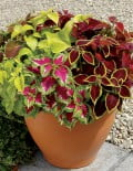 Coleus-Wizard-Mix1