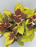 Coleus-Wizard-Pineapple