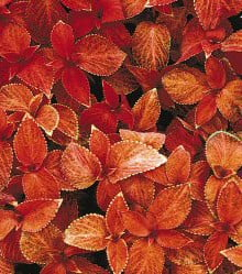 Coleus-Wizard-Sunset