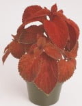 Coleus-Wizard-Sunset-Pot