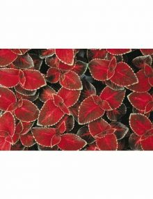 Coleus-Wizard-Velvet-Red