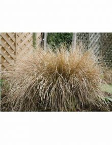 Color-Grass-Anemanthele-Sirocco