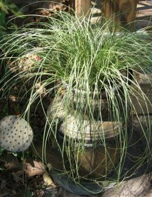 Color-Grass-Carex-Amazon-Mist