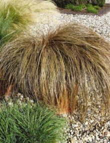 Color-Grass-Carex-Bronco