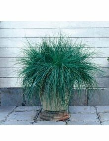 Color-Grass-Carex-Festuca-Festina
