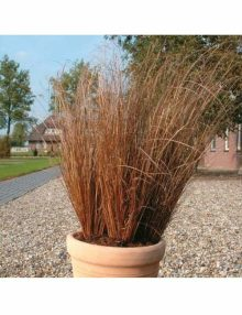 Color-Grass-Carex-Red-Rooster