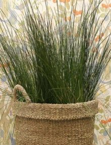 Color-Grass-Juncus-Blue-Arrows