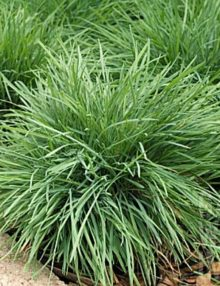 Color-Grass-Juncus-Koeleria-Coolio