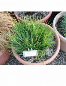 Color-Grass-Juncus-Starhead