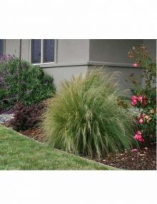 Color-Grass-Stipa-Pony-Tails1