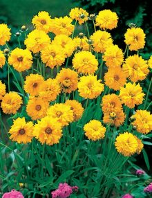 Coreopsis-Early-Sunrise1