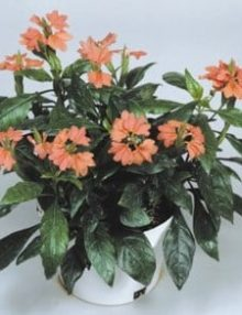 Crossandra-Tropic-Flame-Salmon-Orange-Pot