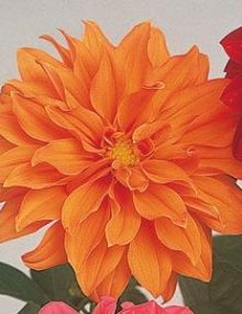 Dahlia-Figaro-Orange-Shades-Flower