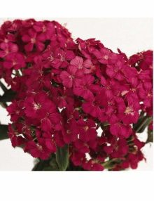 Dianthus Amazon Neon Cherry