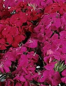 Dianthus-Amazon-Neon-Duo