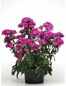 Dianthus Amazon Neon Purple 3